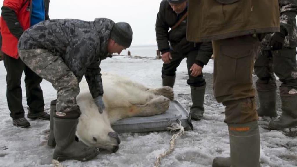 orso polare sedato dalla protezione civile