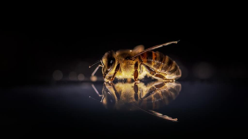 api, insetti