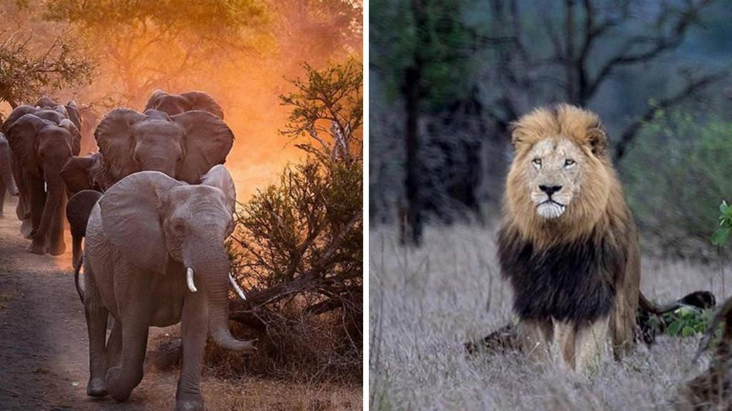 branco di elefanti e leone
