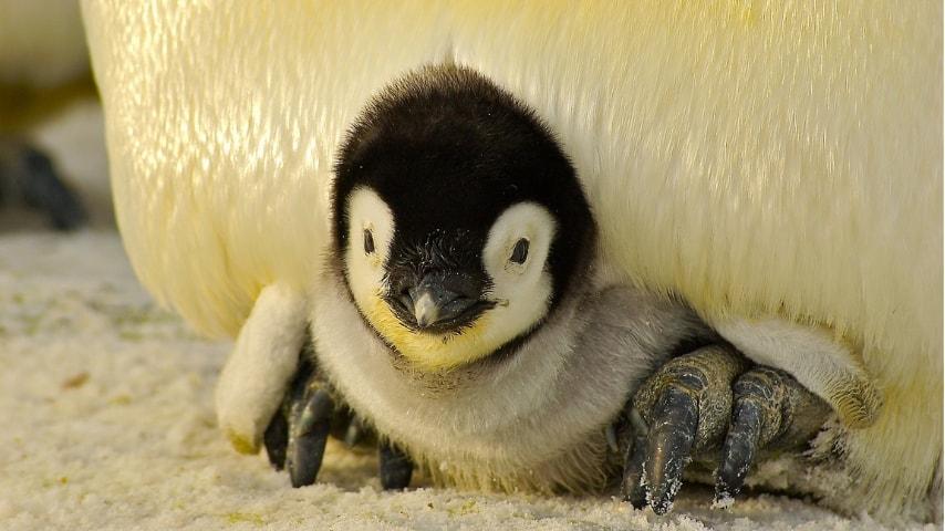 Antartide: addio alla seconda colonia di pinguini imperatore