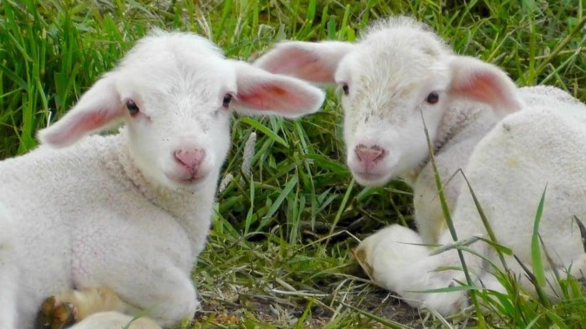 due agnelli sdraiati sul prato