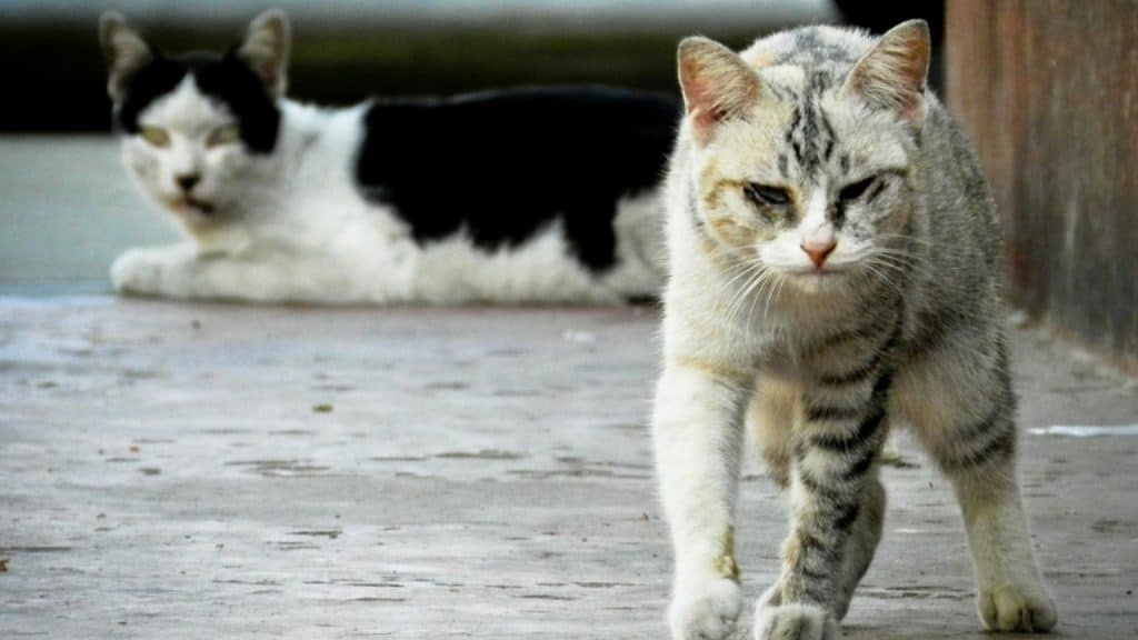 due gatti