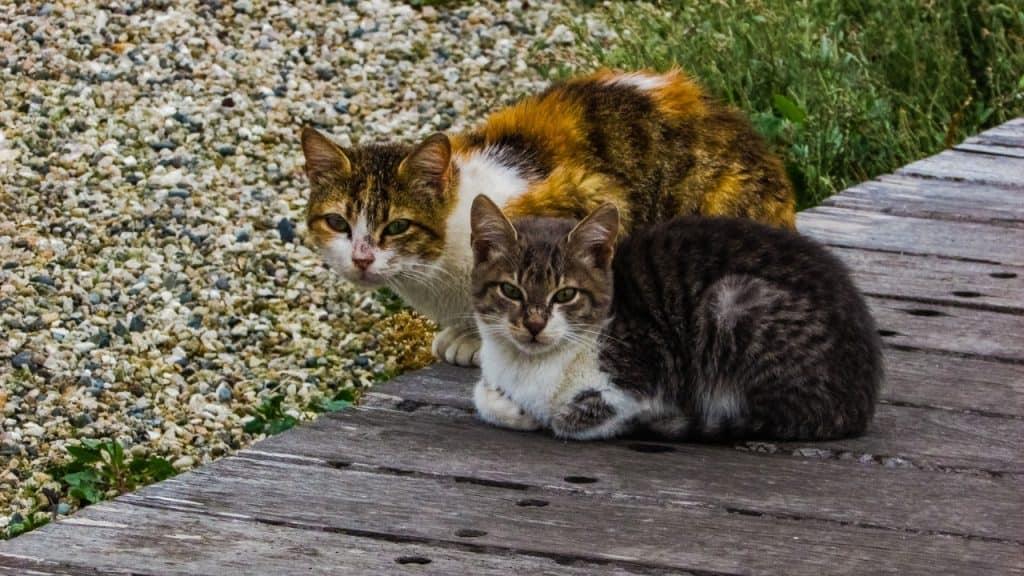 due gatti accovacciati