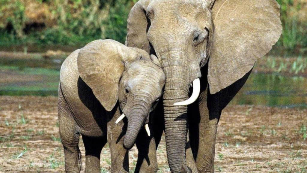 Due elefanti con le zanne