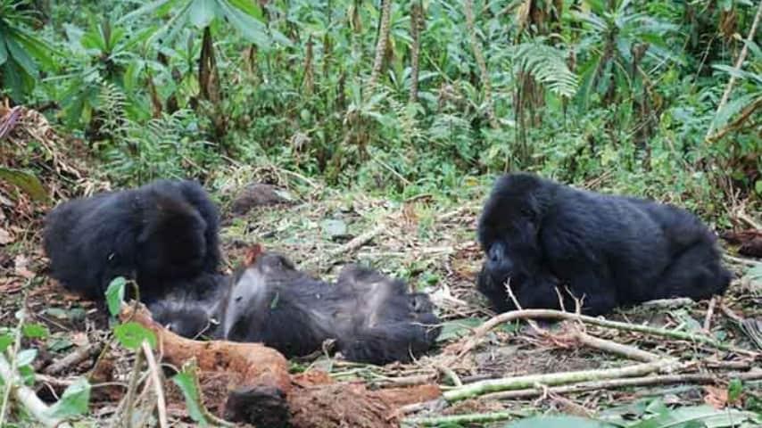 Due gorilla stanno accanto a un gorilla defunto