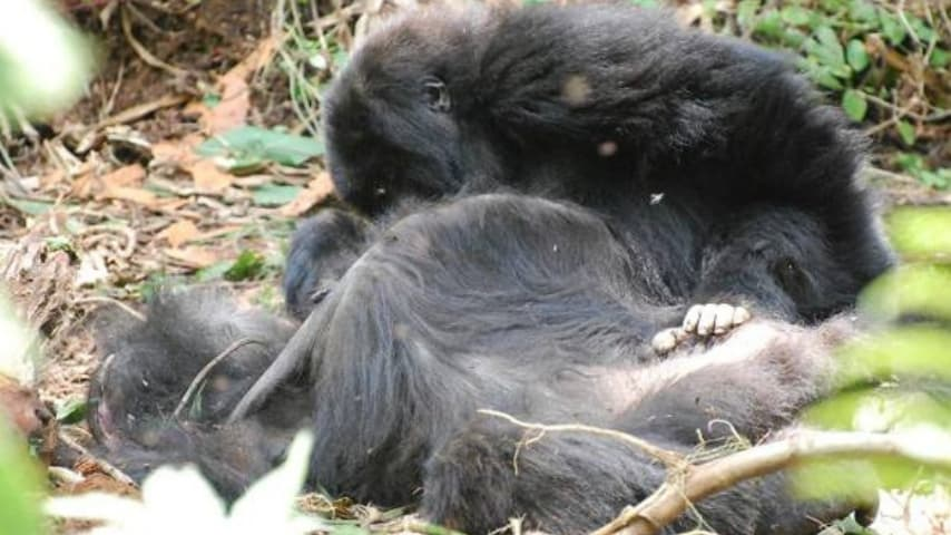 Gorilla accarezza un proprio simile defunto