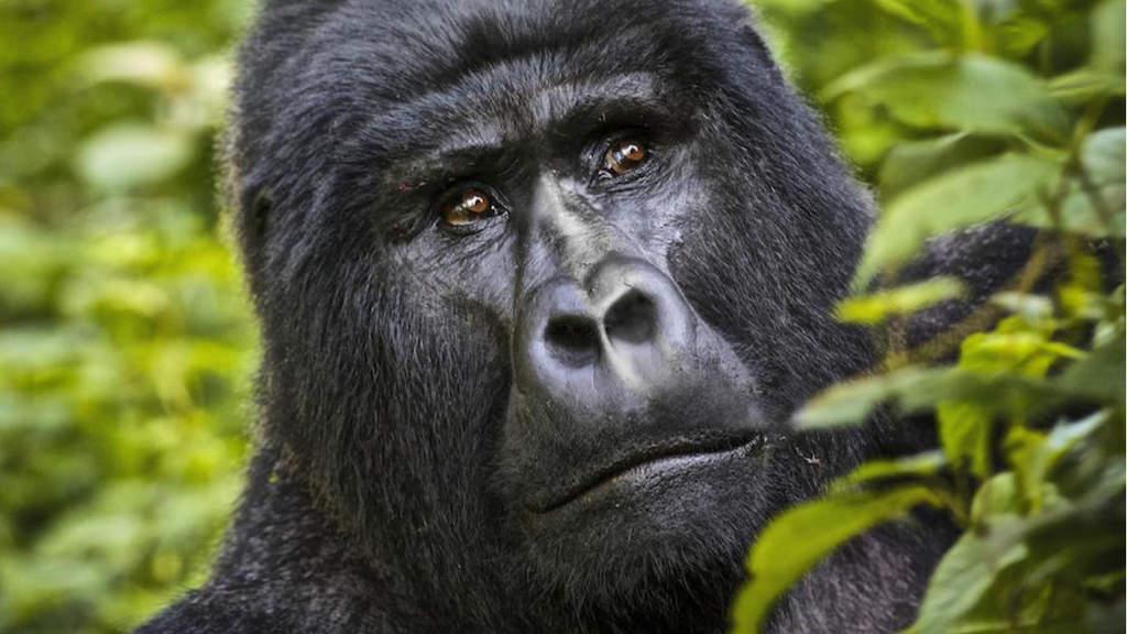 Primo piano del muso di un gorilla