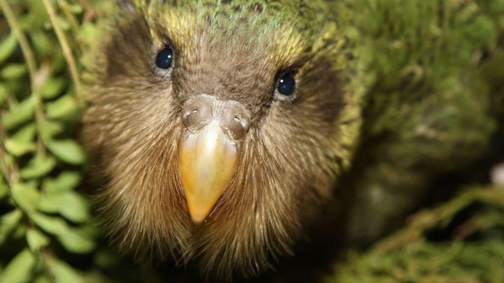 Il kakapo rischia l'estinzione