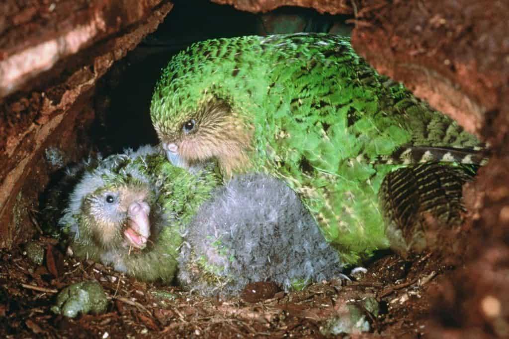Un kakapo e i suoi pulcini