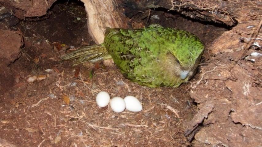 Kakapo con le sue uova