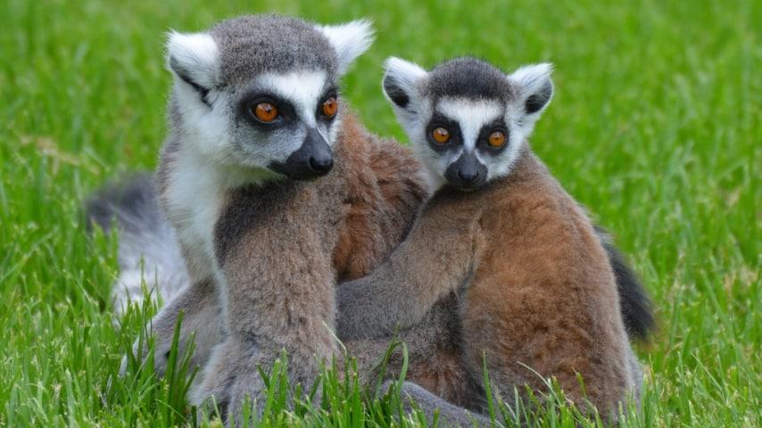 due lemuri