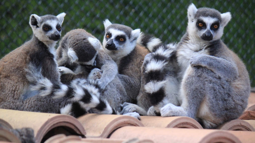gruppo di lemuri