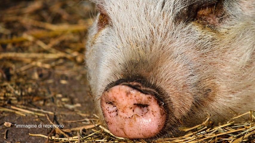 il muso di un maiale