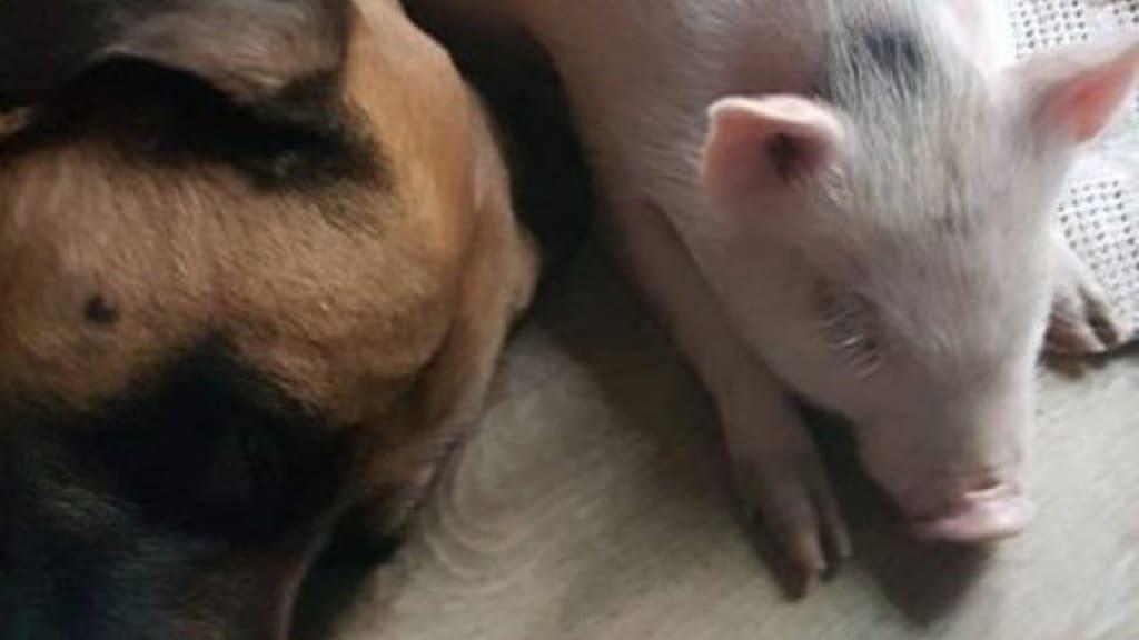 maialino che dorme vicino a un cane