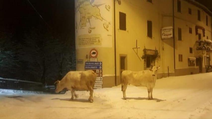 Mucche in fuga