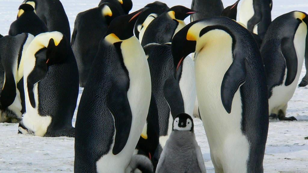 Riscaldamento climatico uccide i cuccioli dei pinguini imperatore in Antartide