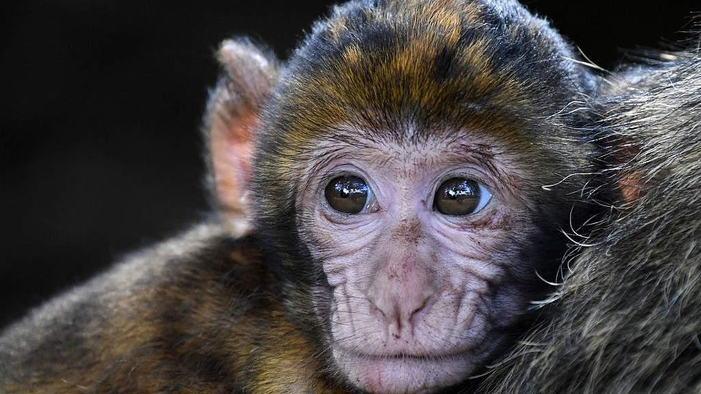 scimmie, primati, macachi