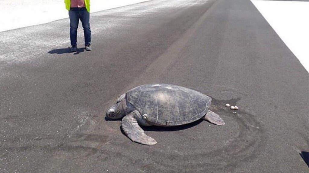 Tartaruga depone le uova in aeroporto