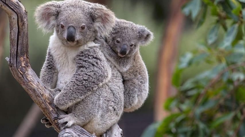 Il Koala dichiarato funzionalmente estinto (Immagine di repertorio)