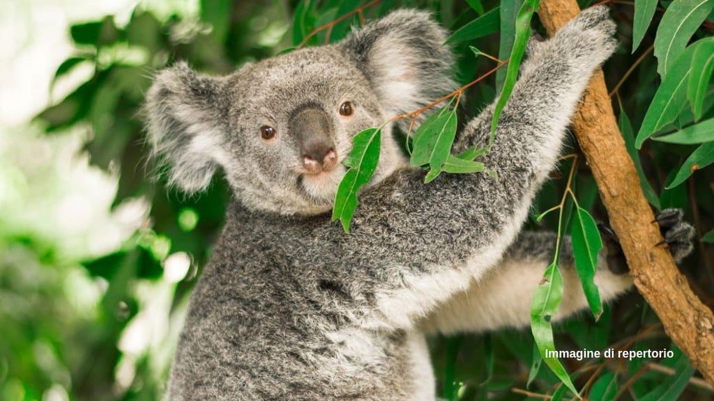 Koala funzionalmente estinto (Immagine di repertorio)