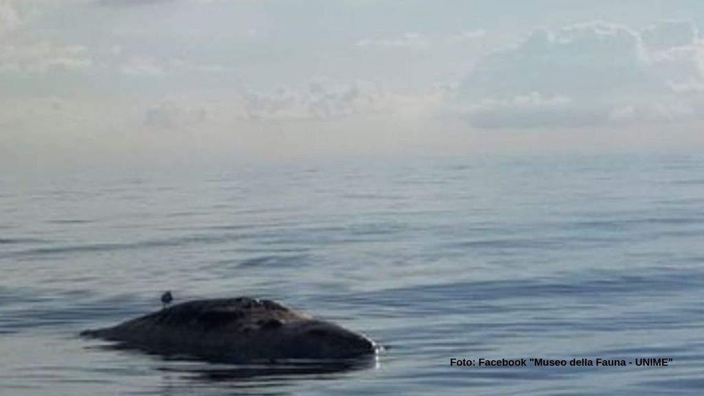 L'ultimo dei capodogli morti questa settimana in Sicilia (Foto Facebook Museo della Fauna - UNIME)