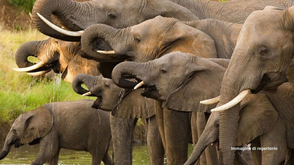 Riapre la caccia agli elefanti in Botswana (Immagine di repertorio)