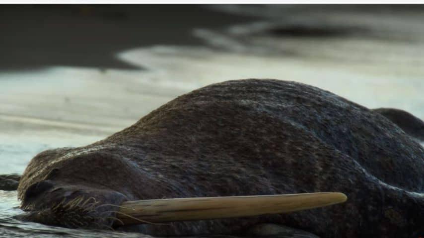 Uno dei trichechi morti tragicamente (Foto Netflix)