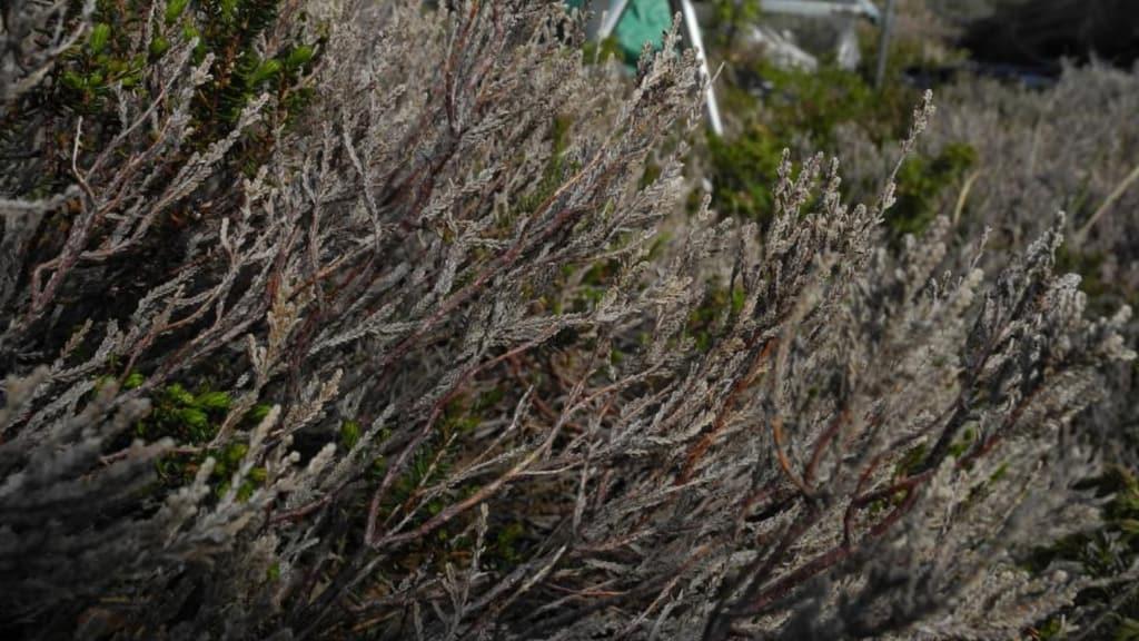 L'arctic browning: il fenomeno che minaccia le piante dell'Artico