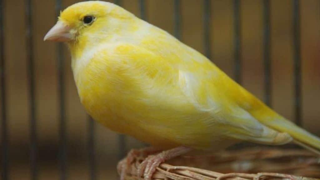 un canarino giallo