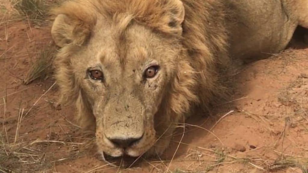 I leoni sono vittime della caccia in Sudafrica