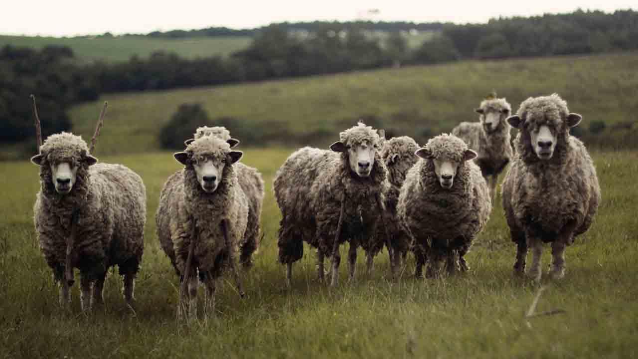 gregge di pecore che guardano la fotocamera