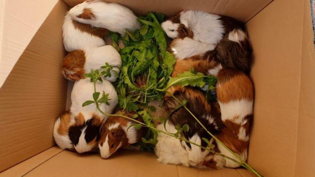 porcellini d'india abbandonati dentro una scatola