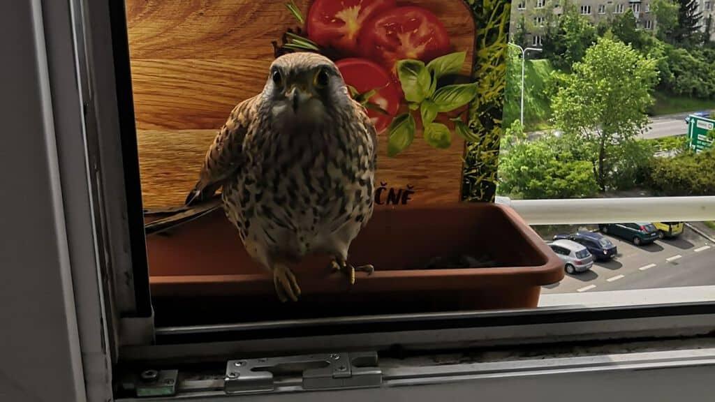 Il falco Adela nel vaso scelto come nido urbano