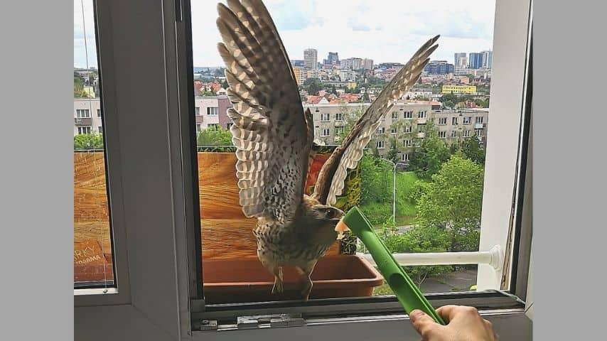 Falco alla finestra che accetta cibo da un essere umano