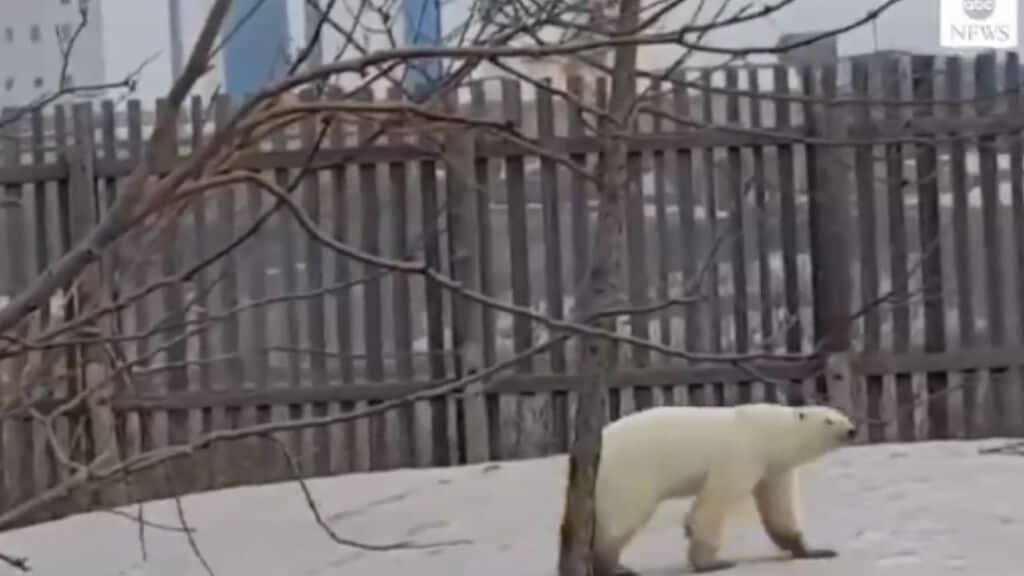 Orso Polare ABC News
