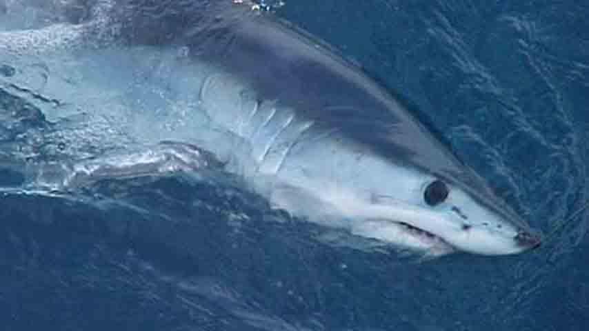 esemplare di squalo mako