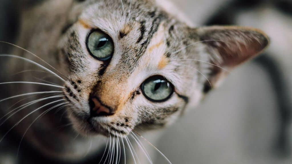 muso di un gattino