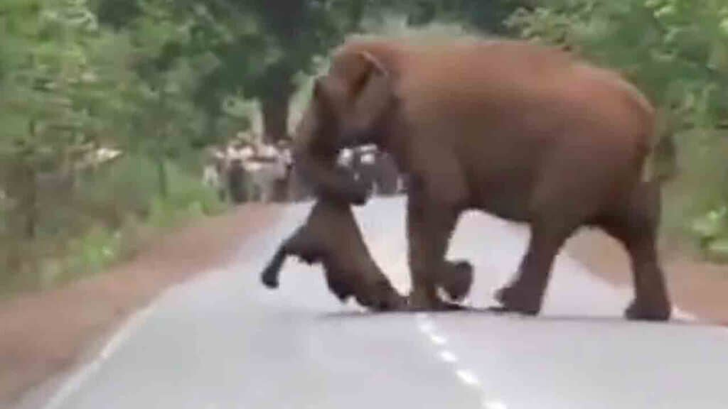 Mamma elefante trasporta il suo cucciolo morto