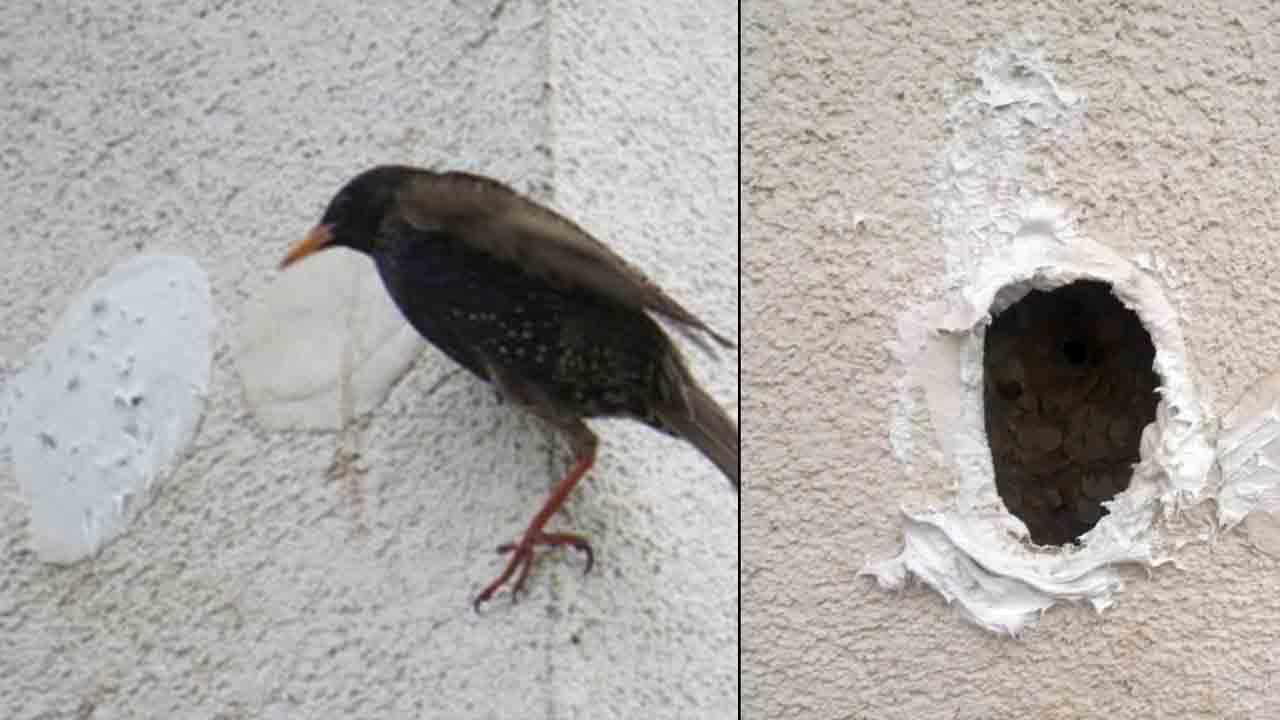 Storno davanti al nido murato e uccellini murati sulla facciata