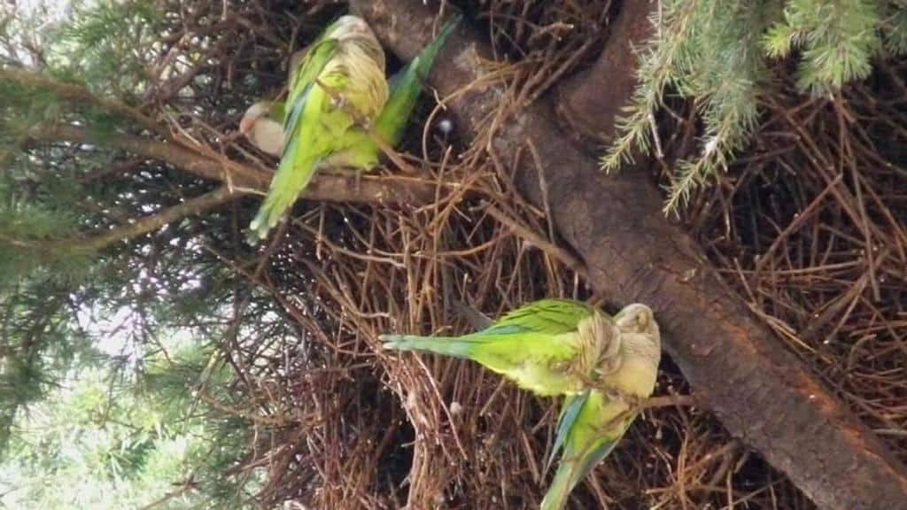 Pappagalli verdi invadono la Puglia