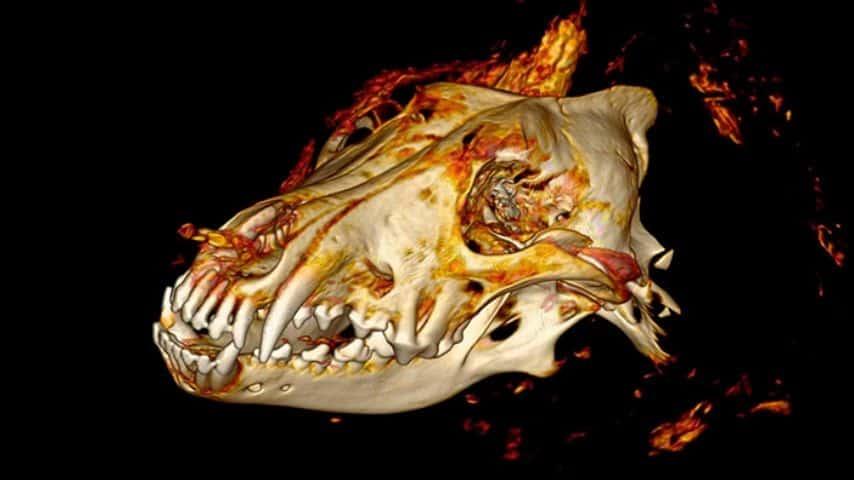 Ricostruzione della testa di lupo