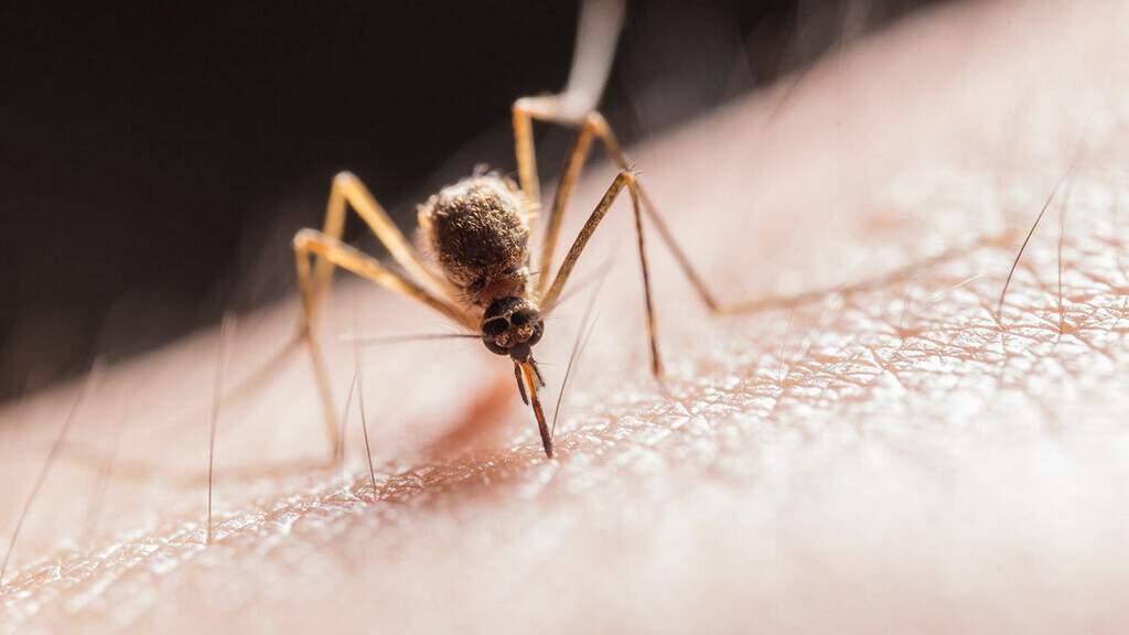 zanzara, malaria