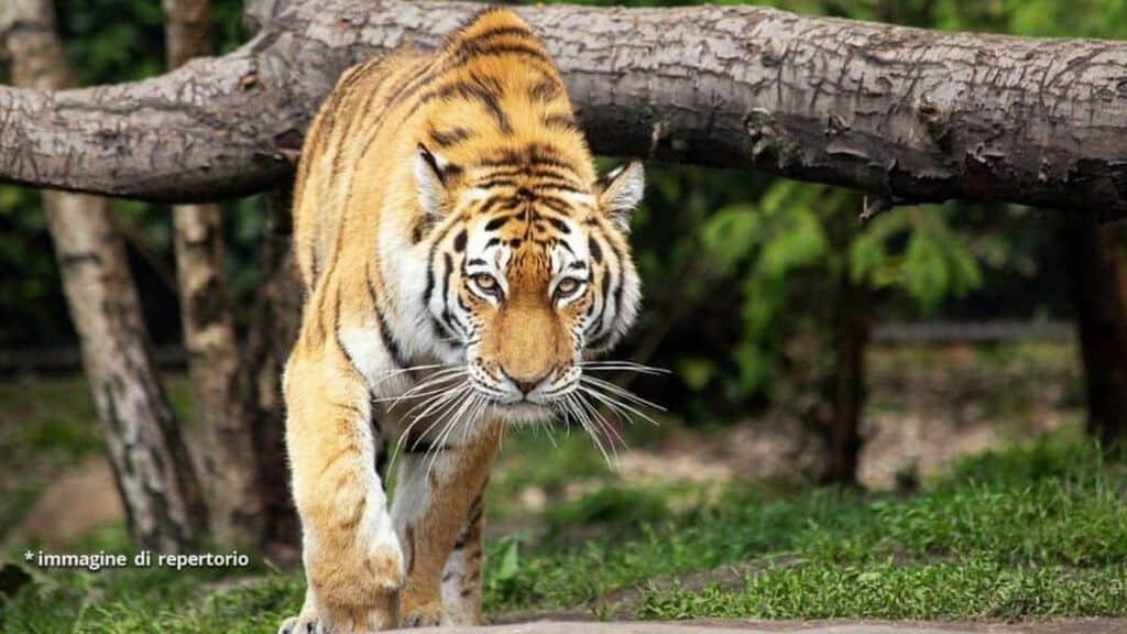 Tigre immagine di repertorio