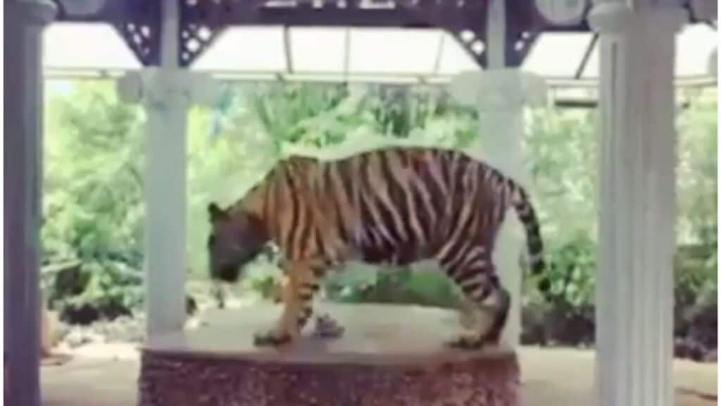 tigre thailandia