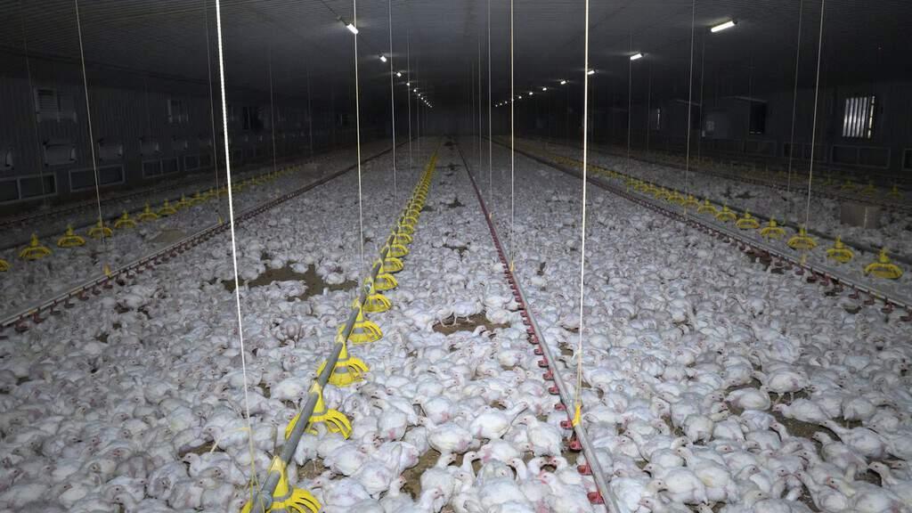 polli, allevamenti intensivi