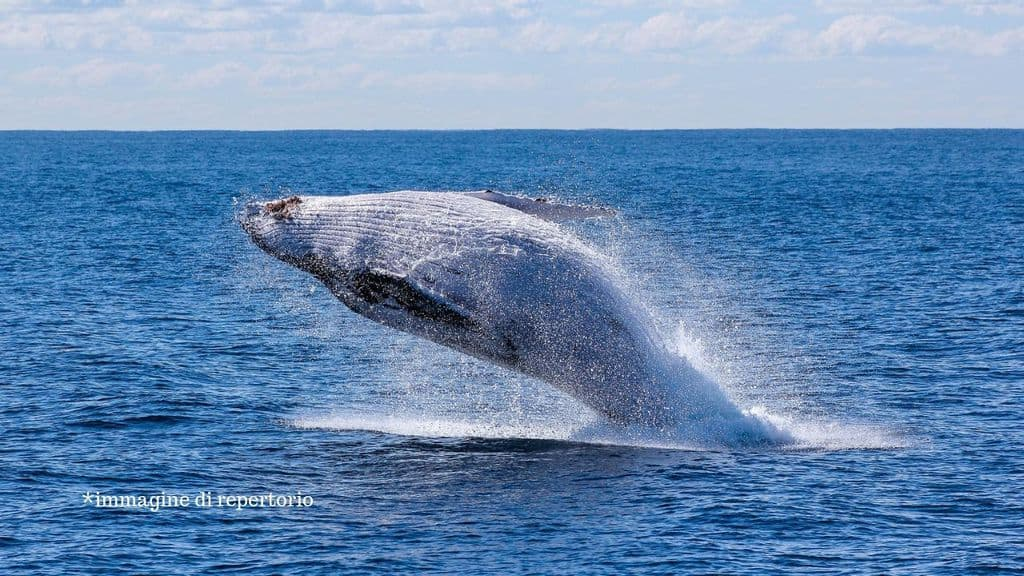 balena che esce dall'acqua