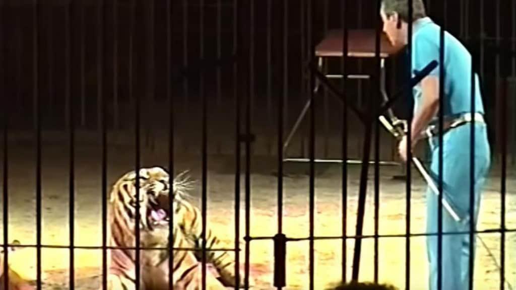 domatore tigre