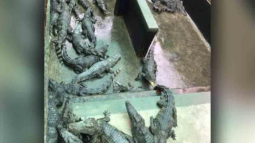 fossa di coccodrilli in Cambogia