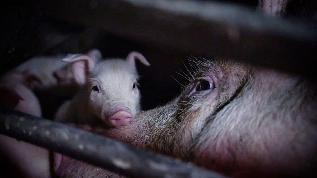 un maialino e una scrofa all'interno dell'allevamento