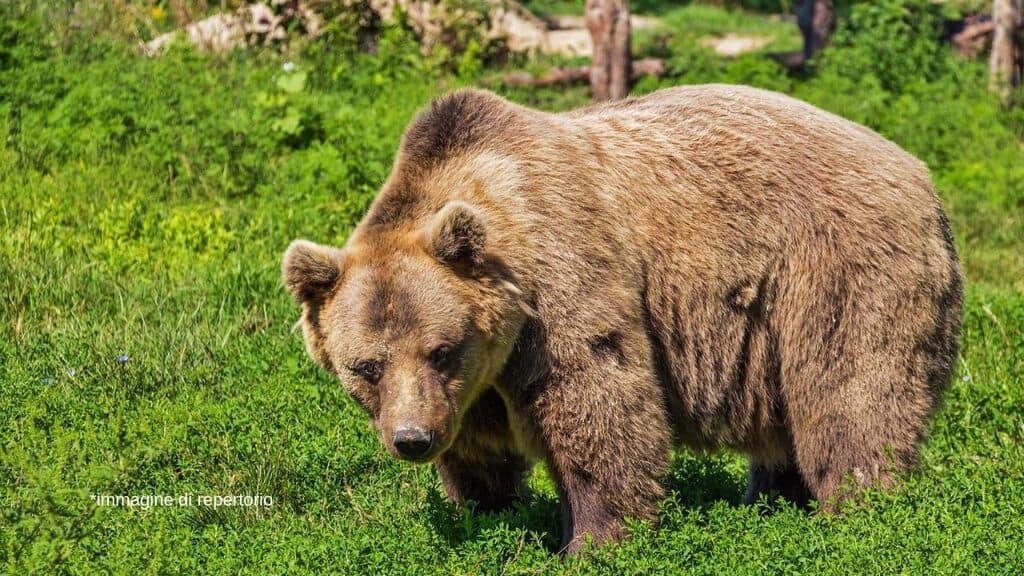 orso sul prato